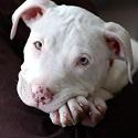 pitbull-small